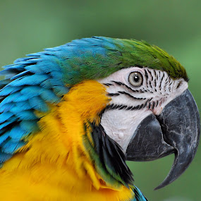 Blue & Yellow Macaw by Liz Crono - Animals Birds ( parrots, blue, macaws, yellow, birds,  )