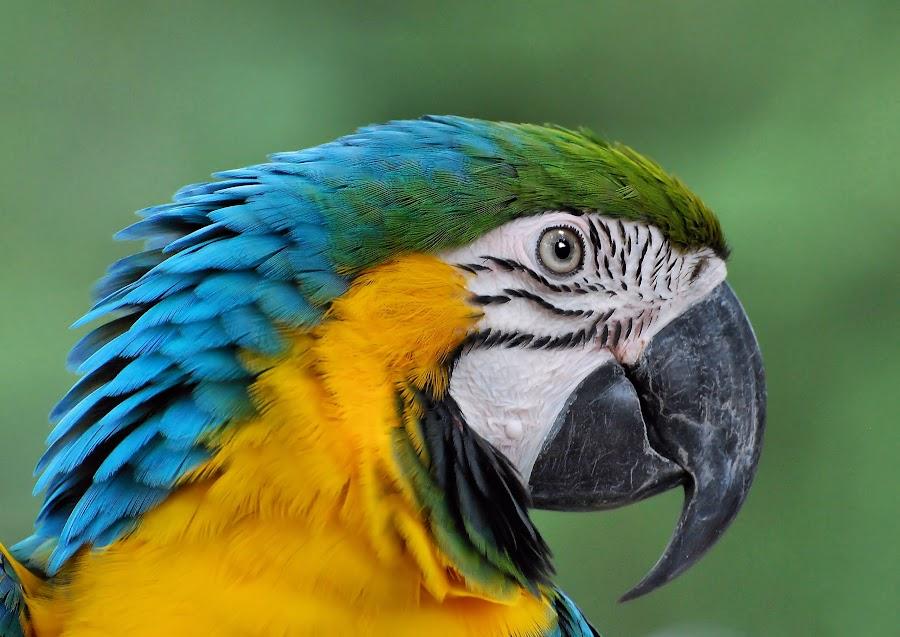 Blue & Yellow Macaw by Liz Crono - Animals Birds ( parrots, blue, macaws, yellow, birds,  )