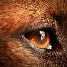 Reflect by Ryan Hortizuela - Animals Other ( reflection, dog, photography, animal, eye )
