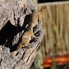 Smith's Bush Squirrel