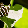 Sailer Butterfly
