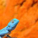 Sinai Blue Agama