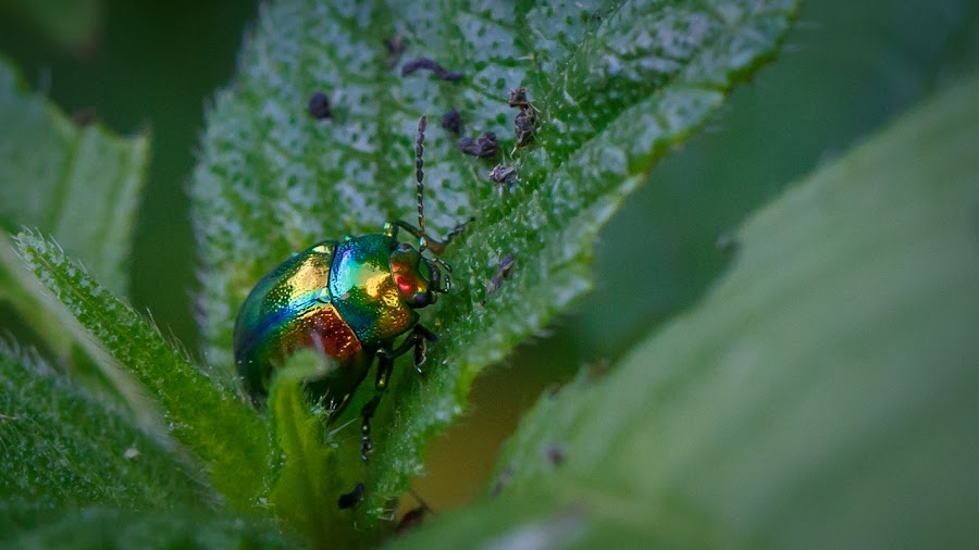 colorful bug by Ralf Seelert - Animals Insects & Spiders ( macro, color, bug, 100mm )