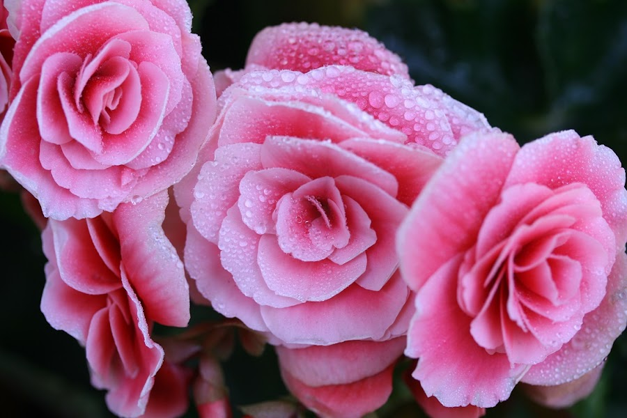 Morning RUGIADA by Giovanna Pagliai - Flowers Flower Gardens ( morning drops, natural., begonias, pink, morning )