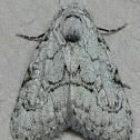 Coastal Plain Meganola Moth