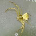 Gehöckerte Krabbenspinne / Crab spider