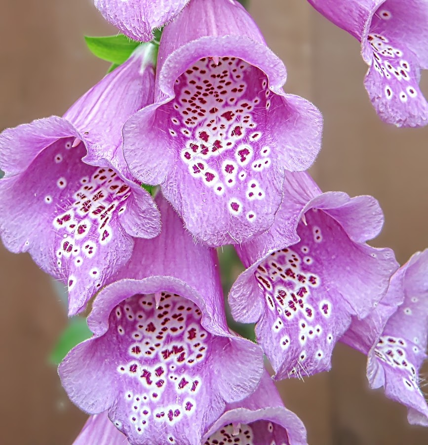 Foxglove by Costa Philippou - Nature Up Close Flowers - 2011-2013 (  )