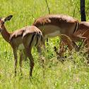 Impala (female)