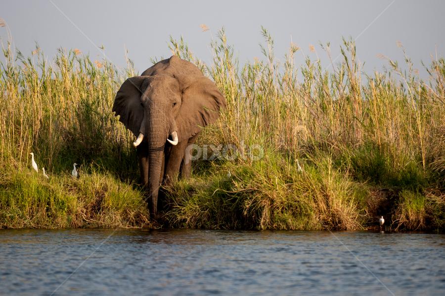 Morning stroll to river bank by Marsilio Casale - Animals Other Mammals ( wild, elephant, zambia, afriva, zambezi, river )