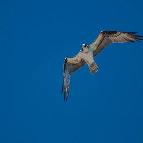 Osprey by Lisa Wessels - Animals Birds ( bird, flight, sky, blue, wings, hunting, air, osprey )