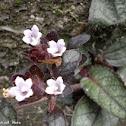 Broad leaf Flame Ivy