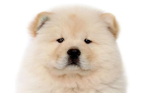 Chow Chow Wallpapers HD