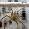 Huntsman spider (female)