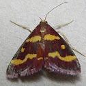 Coffee-loving Pyrausta Moth