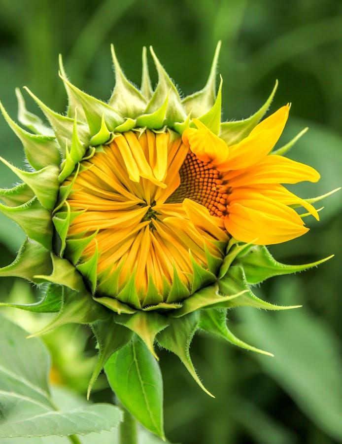 sunflower by Sabina Kos - Flowers Single Flower (  )