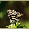 Andaman Longbanded Silverline