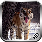 Tiger russian Live Wallpaper