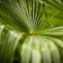 Hemp Palm