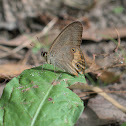 Common Brown Ringlet