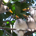 Noisy Miner chicks (two weeks old)