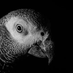 Spock by Michael Pachis - Black & White Animals ( bird, african gray, pet, parrot, bird beak, black and white, animal )