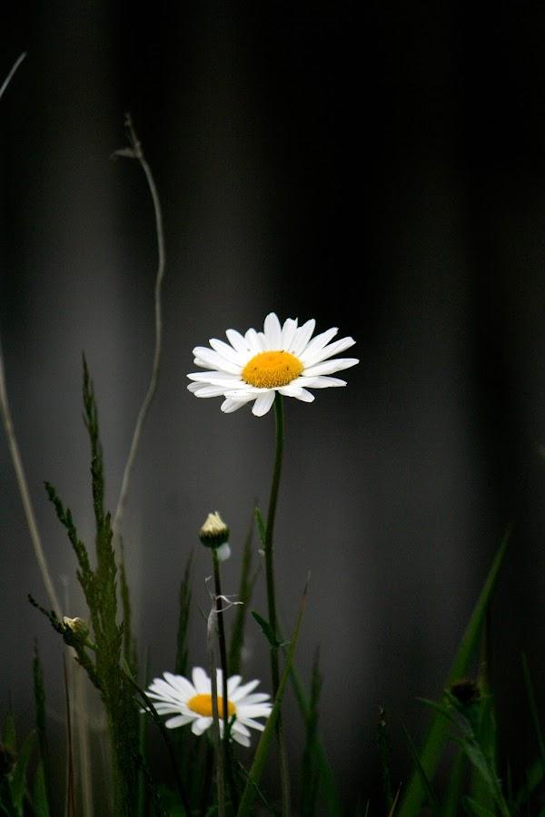 Roadside Daisies  by Dawn Henderson - Flowers Flowers in the Wild (  )
