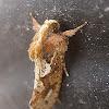 Grass Tubeworm Moth