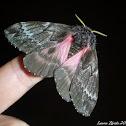 Pine Buck Moth