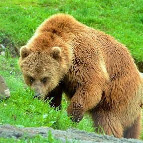 Eye to Eye by  J B  - Animals Other ( bear, animals, canada, eye to eye, grizzly bear,  )