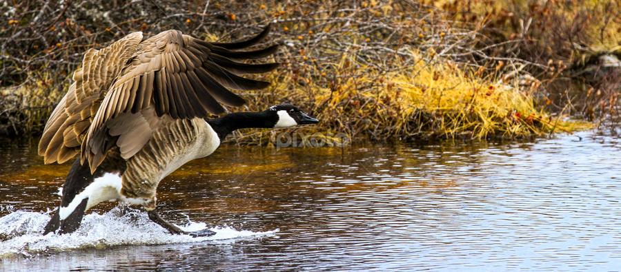 Goose Landing by Eugene Ball - Animals Birds ( water, ski, bird, flying, landing, goose )