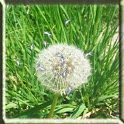 Magic Galaxy S3 Dandelion III icon