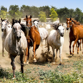 by Flavian Savescu - Animals Horses (  )