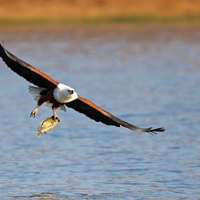 Fish Eagle Catch by John Mcloughlin Wildlife Photography - Animals Birds ( john mcloughlin wildlife photographer,  )