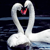 Lovely swans HD
