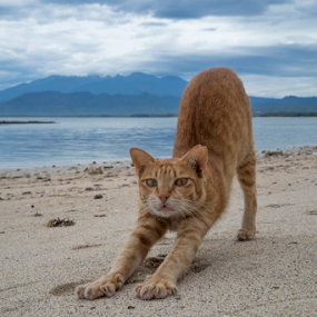 Downard Dog Yoga by Mitchell Oates - Animals - Cats Playing ( love, bali, cat, mountain, travel, cute, yoga, stretching )