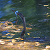 Anhinga, male (rescued from garbage)