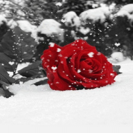 Black rose snow live wallpaper kb latest - Rose in snow wallpaper ...