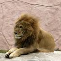 León / Lion