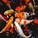 Budidaya Ternak Ikan icon