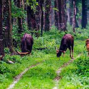 The Indian Bisons.. by Dilip Ghosh - Uncategorized All Uncategorized