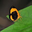 Callidulid Moth