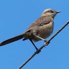 Chalk-browed Mockingbird / Sabiá-do-campo /