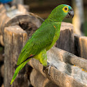 Papagaio-verdadeiro(Blue-fronted Parrot)