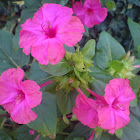 Maravilha - four o'clock flower