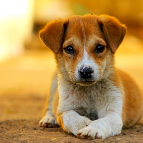 There is always someone to make our day exciting. For me, its him!! by Arnab Choudhury - Animals - Dogs Portraits ( animalia, still, cute, young, portrait, natural background, canine, resting, adorable dogs, animal kingdom, nature, pet, mamal, adorable, laying, puppy, zoology, baby, rest, dog, companion dog, animal )