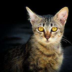 || The.Koceng || by Wahyu Jr. Abadi - Animals - Cats Portraits ( mammals, lion, cat, kitten, tiger, fauna, geghans, fun, surabaya, playing, cats, pets, portraits, animal, , baby, young )