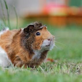guinea pig portrait by Darko Kovac - Animals Other