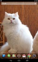 Screenshot of Persian Cats Live Wallpaper
