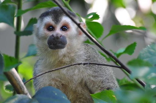 A Central American Squirrel Monkey near Quepos, Costa Rica.