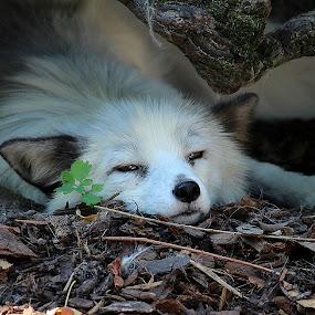 Polar fox by Birgit Vorfelder - Animals Other Mammals ( nearly asleep, fox, sleepy, polar fox, half closed eyes, cave, white fur, animal,  )